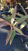 8 to 10 inches Tropical Cordyline Ti Hawaiian Red Sister houseplant live plant  - $26.99