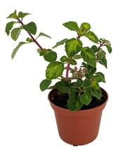 "2.5"" Pot - Lemon Lime Kandy Kisses Plant - Hemizygia - Easy to Grow Hous... - $47.99"