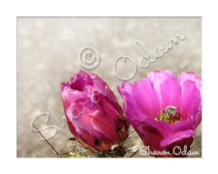 Fine Art Photography Pink Cactus with Bee