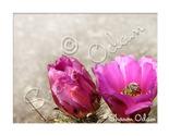 Cf 113 pink cactus1 web thumb155 crop