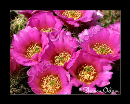 Fine Art Photography Cluster of Pink Cactus Blooms