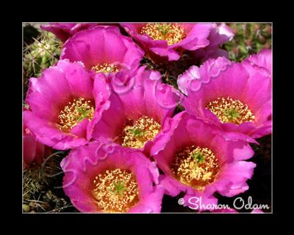 Cf 114 pink cactus2 web