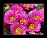 Cf 114 pink cactus2 web thumb155 crop