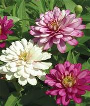 Ice Queen Zinnia - Large Beautiful Blooms - 15 Fresh Seeds - $8.99