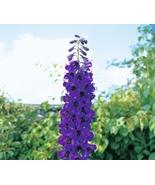 Ultorum tall black knight flower seeds professional pack 50 seeds pack hardy perennial thumbtall