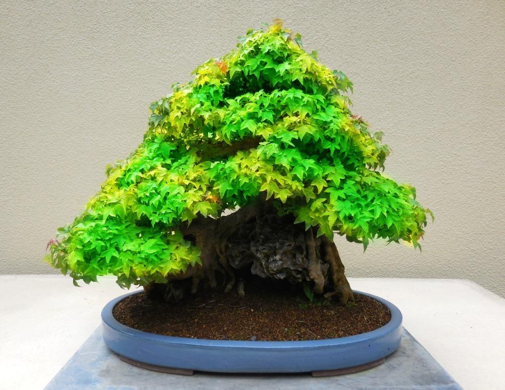 how to grow blue maple bonsai