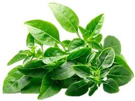Spicy Globe Basil Herb Seeds, 150 pcs seeds - $9.00