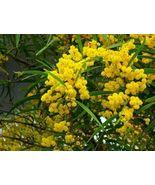 20pcs Golden Mimosa seeds Acacia Baileyana Yellow Wattle Tree Flower - $8.99