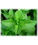 23 Mojito Mint Seeds, Mentha x villosa, Perennial Plant, Culinary Herb, ... - $10.86
