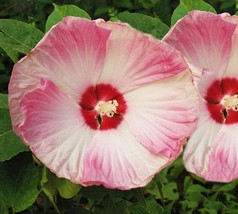 10 Fresh Seeds - Non GMO Huge Hardy Hibiscus Luna White with Pink Swirl - $10.89