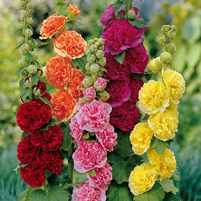 Primary image for 25 Organic Hollyhock, Pink, Red & Yellow Flower Seeds