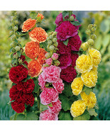 25 Organic Hollyhock, Pink, Red & Yellow Flower Seeds - $4.99