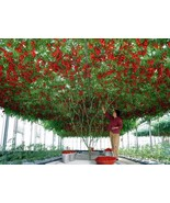 20 Italian Tree Tomato Seeds - $5.99
