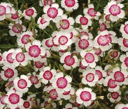 Rare Maiden Pink Dianthus Deltoides 'Arctic Fire' Carnation Flower 50 Seeds/pack - $5.19