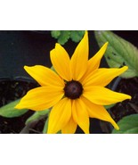 RUDBECKIA HIRTA INDIAN SUMMER LIVE PLANT YELLOW 2.5 INCH POT - $5.50
