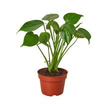 "Philodendron Monstera Split-Leaf - 4"" Pot - Houseplants - Outdoor Living - D11 - $31.99"