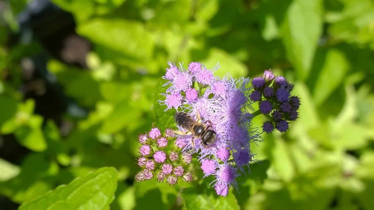 Organic Native Plant, Blue Mistflower