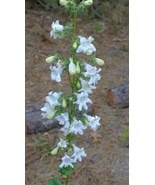 Organic Native Plant, Foxglove Beard Tongue, Penstemon digitalis, - $3.50