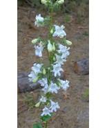 Organic Native Plant, Foxglove Beard Tongue, Penstemon digitalis, - $3.75