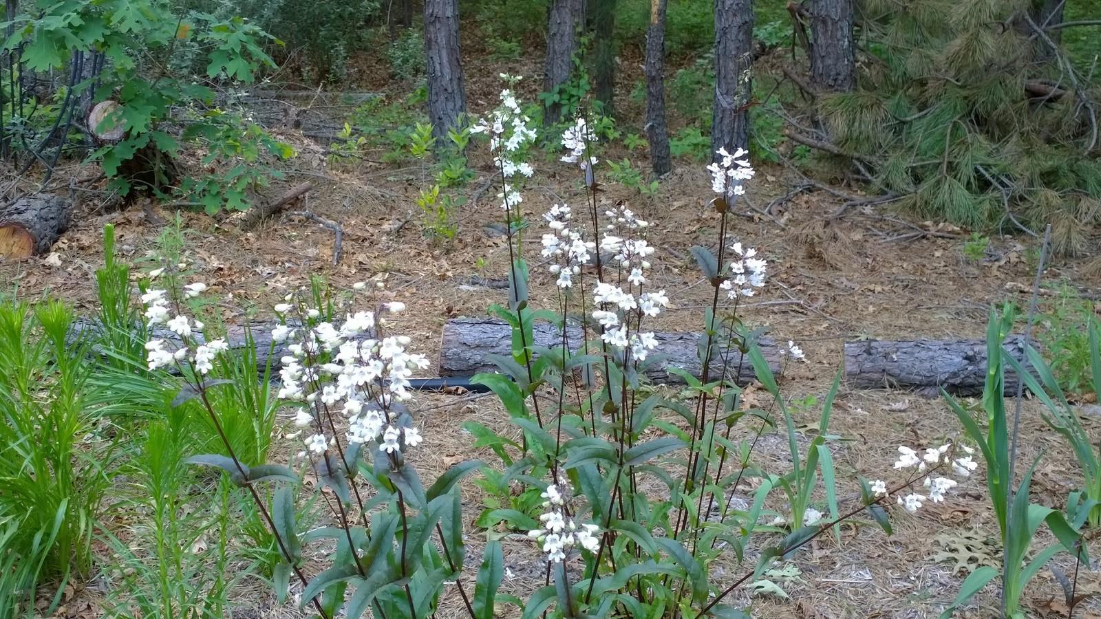 Organic Native Plant, Foxglove Beard Tongue, Penstemon digitalis,