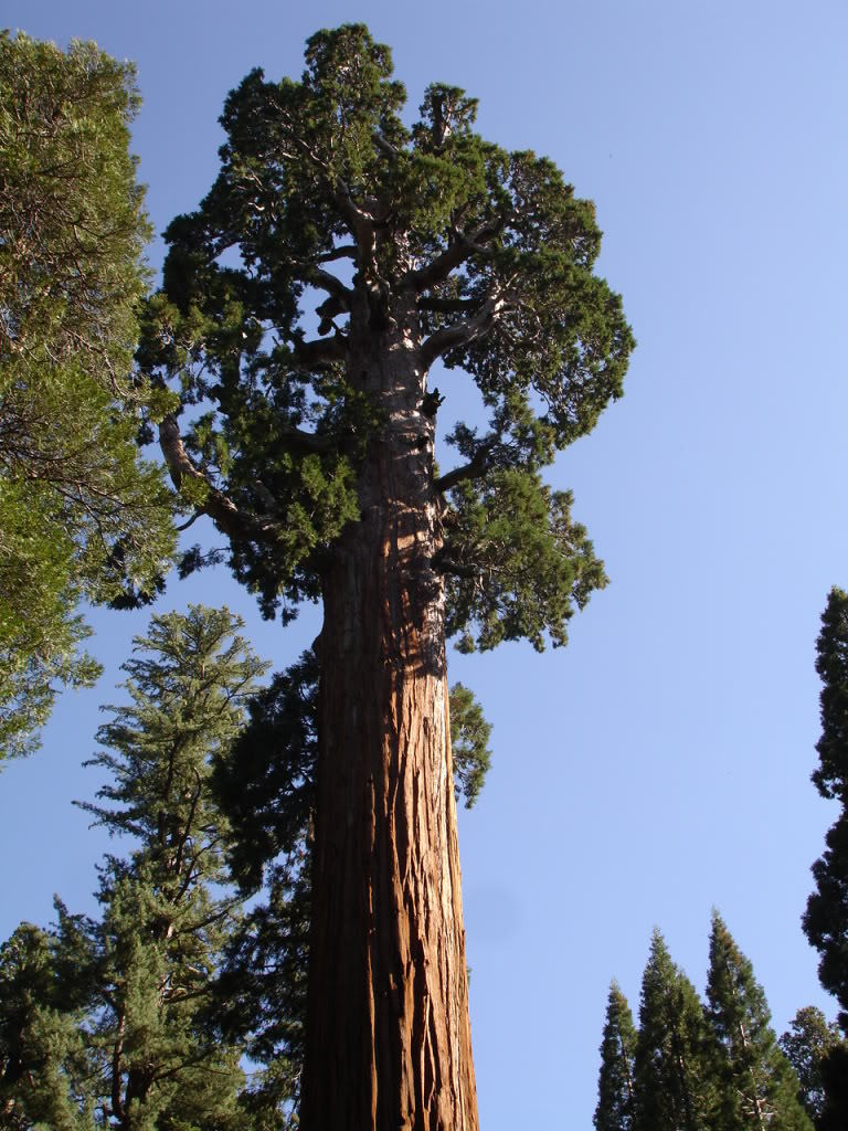 Giant sequoia tree 1