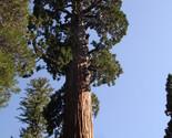 Giant sequoia tree 1 thumb155 crop
