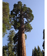 40 Giant Sequoia Plant Tree Seeds Fast Growing - $11.99