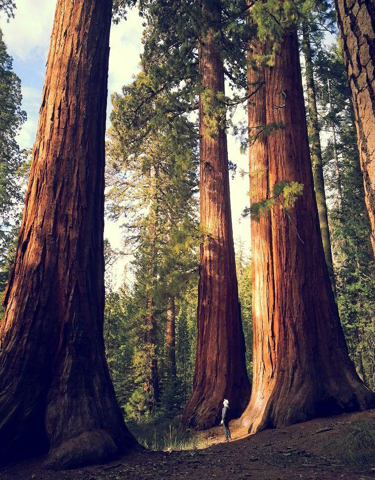 40 Giant Sequoia Plant Tree Seeds Fast Growing