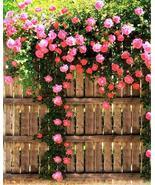 50 Climbing Roses Flower Seeds - $8.99