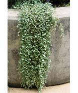 6g Dichondra Repens Silver Falls Emerald Ground Cover Seeds - $14.49