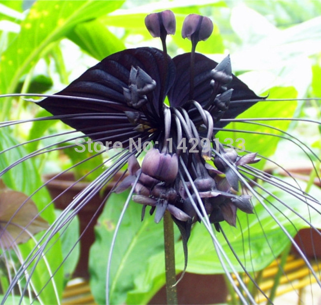 Primary image for 200 Rare Black Tiger Shall Orchid Flowers Seeds