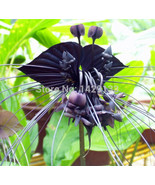 200 Rare Black Tiger Shall Orchid Flowers Seeds - $2.89