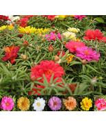100 Mixed Color Moss-Rose Purslane Seeds (Portulaca grandiflora) - $8.47