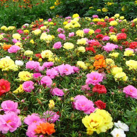 200 mixed color moss rose purslane seeds portulaca - Plantas de sol directo ...