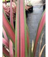 Live 5-gallon Plant Phormium Jester NEW ZEALAND FLAX - $37.05