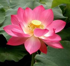 5 Pink Sacred Lotus Nelumbo Nucifera seeds Not water lily Easy grow Comb... - $16.06