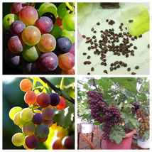 Rainbow Grape Seeds, Senior Courtyard Plants, D... - $3.94