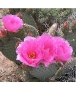 Opuntia basilaris Beaver Tail Cactus Pink Flowe... - $8.86