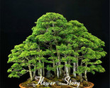 20 Juniper Bonsai Tree Seeds, potted flowers office bonsai purify the air absorb