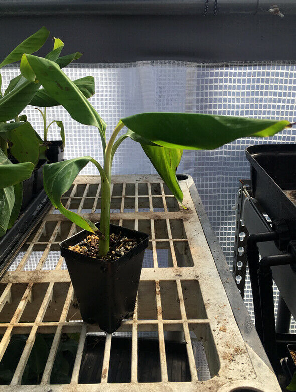 Gros Michel Banana Plant - RARE Variety - Live Plant