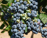 1 OZ *Super Sweet n Huge* BLUEBERRY SEEDS! Highbush Mix HUGE WHOLESALE QTY! - $4.079,13 MXN