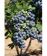 1 OZ *Super Sweet n Huge* BLUEBERRY SEEDS! Highbush Mix HUGE WHOLESALE QTY! - $191.99