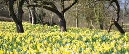 Wild Daffodil 50 bulbs,Lent Lily (NARCISSUS PSEUDONARCISSUS image 4