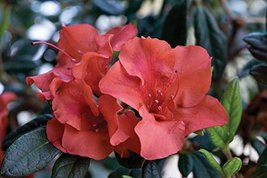 1 Starter Plant of Autumn Embers Encore Azalea - 2 Gallon - $108.84