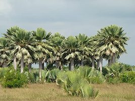 Giant Yarey Palm Gigas - 5 Live Plants in 4 Inch Growers Pots - Copernic... - $188.07