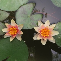 Yellow Pygmy Hardy Water Lily - Miniature Lily Plant +Free Fertilizer! - $29.95