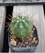 Trichocereus terscheckii Gold Spine Argentine S... - $7.87