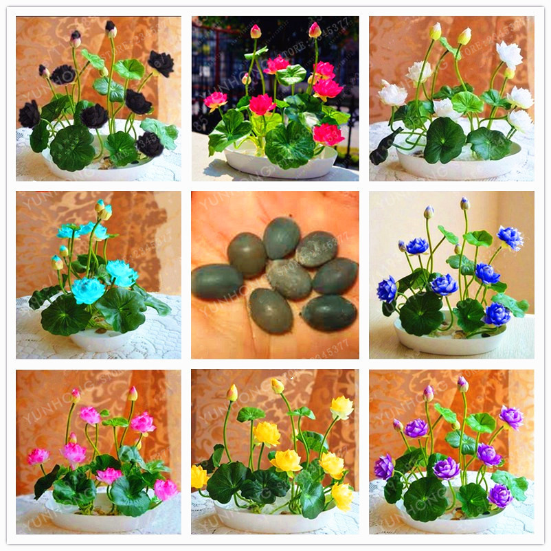 5pcs Bowl Lotus Seed Hydroponic Plants And 50 Similar Items