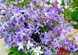 Evening Scented Stock 500 Flower Seeds - $15.98