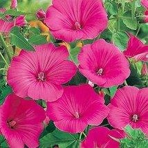 Rose Mallow Tanagra- 100 Seeds - $6.93